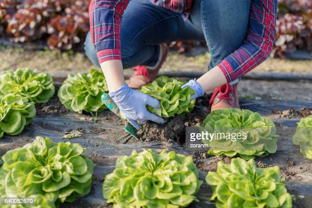 farmer harvesting lettuce - leaf lettuce stock pictures, royalty-free photos & images