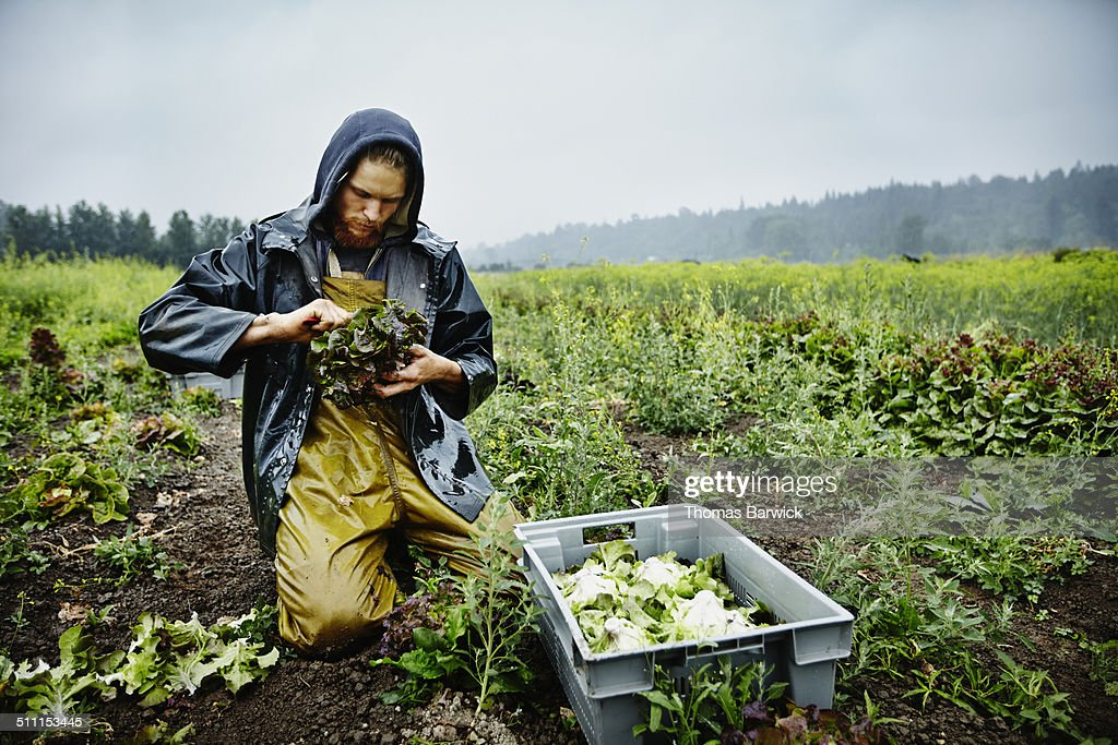 Farmer harvesting organic lettuce on farm : Stock Photo