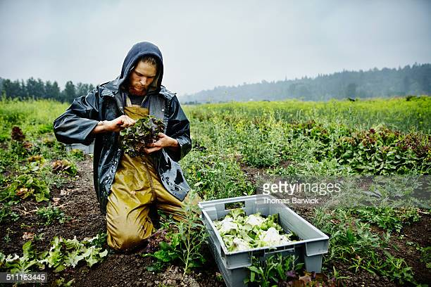farmer harvesting organic lettuce on farm - verantwortung stock-fotos und bilder