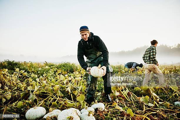 Farmer harvesting organic squash in field