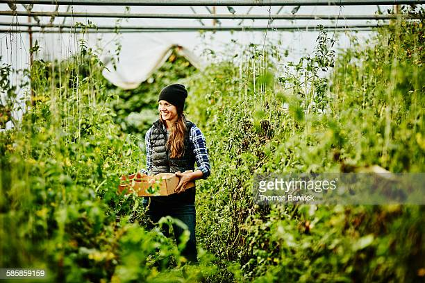 farmer harvesting organic tomatoes in greenhouse - organic farm stock pictures, royalty-free photos & images