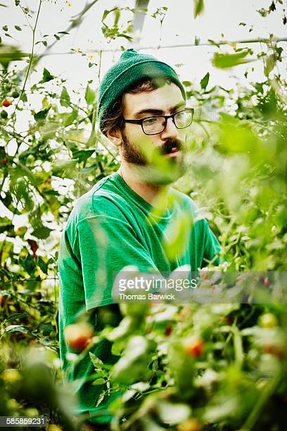 Farmer harvesting organic tomatoes in greenhouse