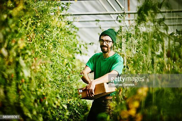 farmer harvesting organic tomatoes in greenhouse - hingabe stock-fotos und bilder