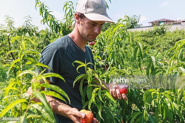 Farmer ernten peaches