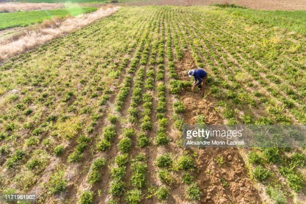 farmer harvesting peanuts plants in large green peanut crop - bolivia fotografías e imágenes de stock