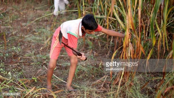 fazendeiro que colhe o millet da pérola ao ar livre no campo - infância - fotografias e filmes do acervo