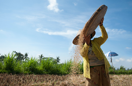 Farmer harvesting rice in rural field - gettyimageskorea