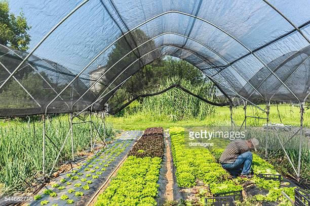 Farmer Ernte-Salat