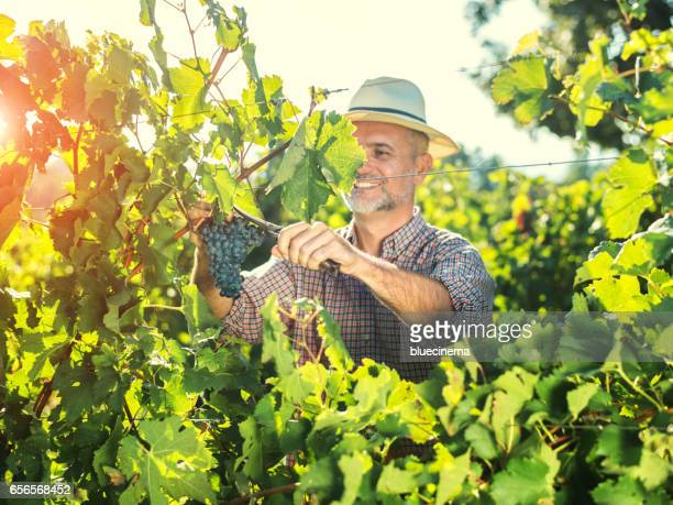 Farmer harvesting the grapes in a vineyard