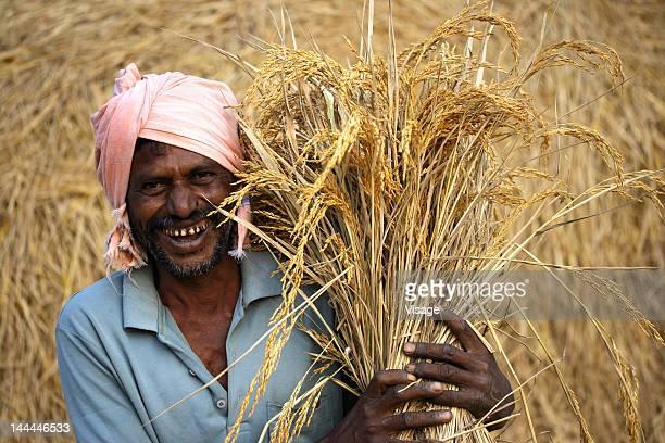 A farmer harvesting the paddy crop