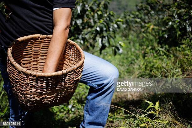 A farmer harvests coffee beans at a plantation near Fredonia 50 km south of Medellin Colombia on January 19 2017 Colombia is the world's third...