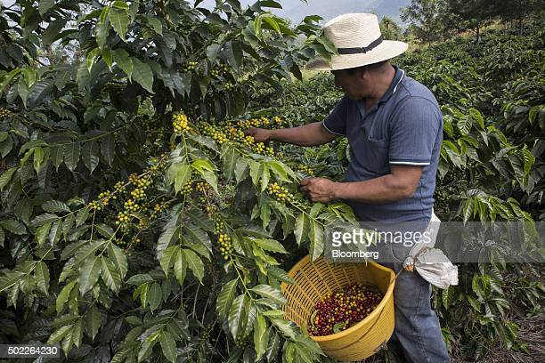 A farmer harvests coffee cherries at a plantation on the slopes of the Agua volcano near San Miguel Escobar Guatemala on Thursday Dec 17 2015 Coffee...