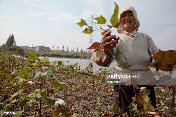 A farmer harvests cotton at a farm located at the site of a future Walt Disney Co theme park in Shanghai China on Friday Nov 6 2009 Walt Disney's...
