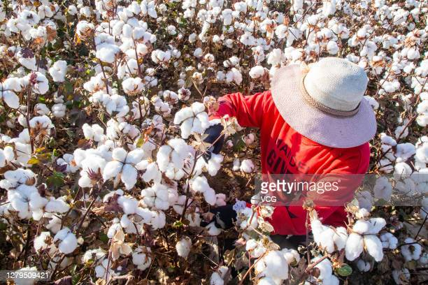 Farmer harvests cotton in a field on October 10, 2020 in Hami, Xinjiang Uygur Autonomous Region of China.