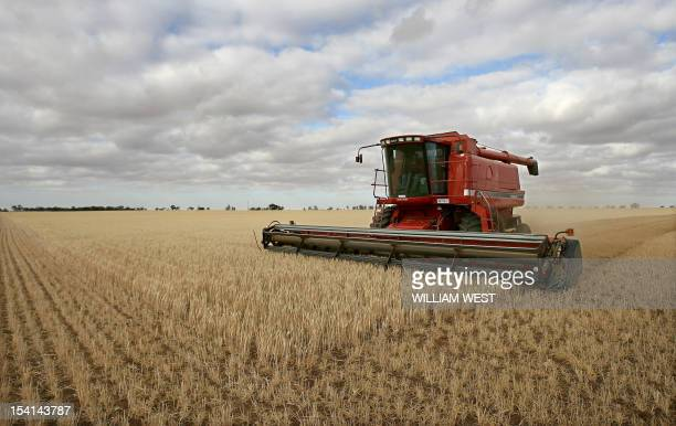 A farmer harvests his field of stunted wheat stalks normally thigh high and which have only managed only a few inches growth in the parched earth of...