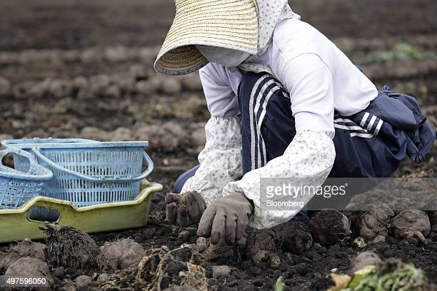 A farmer harvests konjac roots in a field in Showa Village Gunma Prefecture Japan on Tuesday Nov 17 2015 Konjac a yamlike plant is Japans...