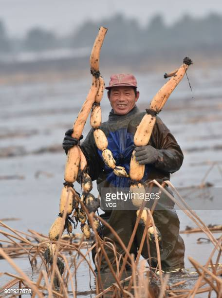 A farmer harvests lotus roots in freezing cold water on January 8 2018 in Chaohu Anhui Province of China The harvest season for lotus roots comes and...