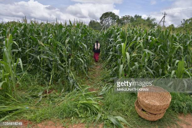 Farmer harvests maize in a field on the outskirts of Bangalore on August 11, 2021.