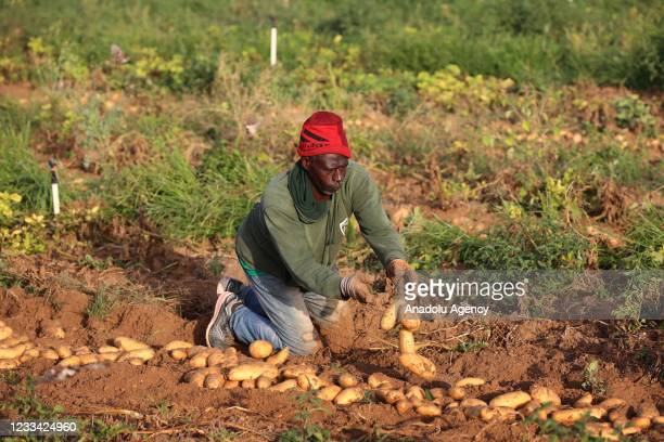 Farmer harvests potatoes in Gaza City, Gaza on June 11, 2021.Harvest season remains at low level for Gazaian farmers after Israeli attacks, since...