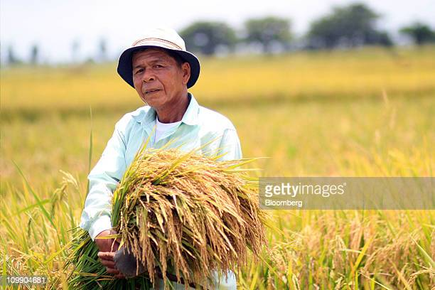 A farmer harvests rice from a field in Nueva Ejica province the Philippines on Monday Nov 8 2010 The Philippines may buy more rice than 860000 metric...