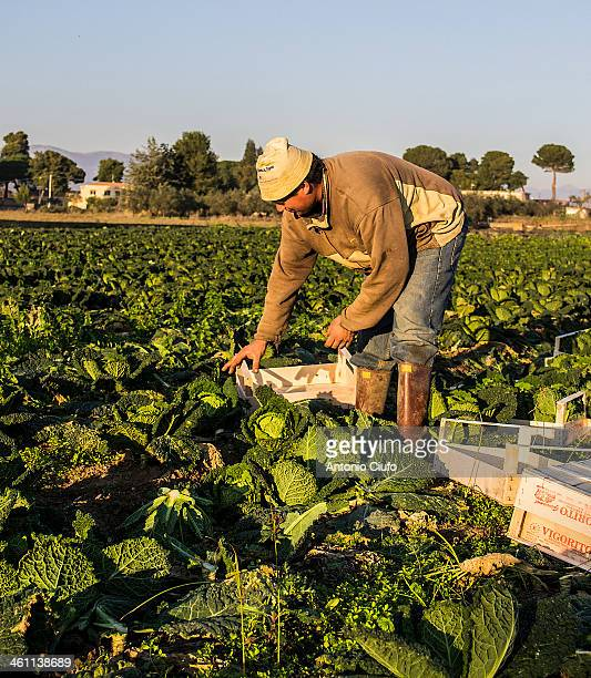 Farmer harvests savoy cabbage on a farm of Sessa Aurunca, Caserta. The environmental emergency in Campania - after the discoveries of spills of toxic...
