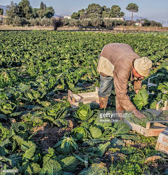 CONTENT] A farmer harvests savoy cabbage on a farm of Sessa Aurunca Caserta The environmental emergency in Campania after the discoveries of spills...