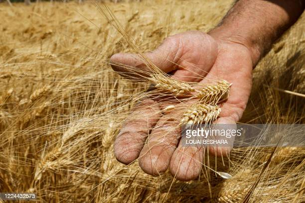 Farmer harvests wheat in a field in the countryside of al-Kaswa, south of Syria's capital Damascus, on June 18, 2020. - Heavy rain and reduced...