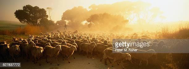Farmer Herding Flock of Sheep