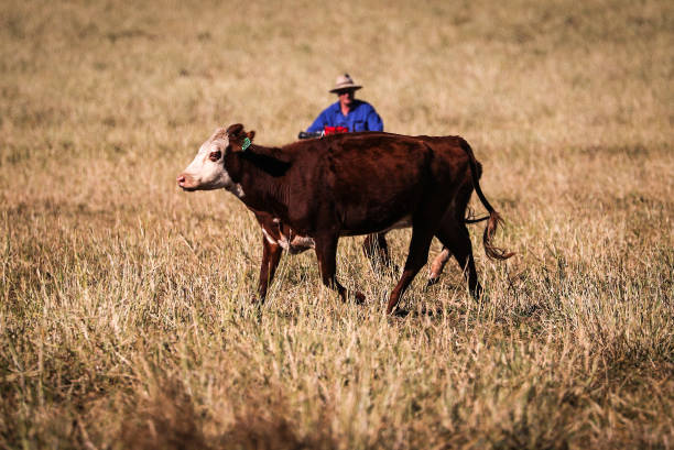 AUS: Cattle Farming in New South Wales Amid Escalating Tension With China