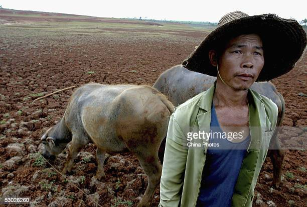 A farmer herds his cattle at the base of a dried reservoir on June 2 2005 in Leizhou of western Guangdong Province southern China According to...