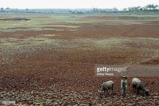 A farmer herds his cattle at the bottom of a dried reservoir on June 2 2005 in Leizhou of western Guangdong Province southern China According to...