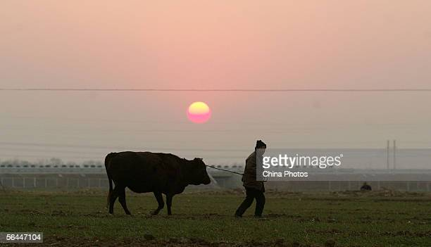 A farmer herds his cattle on a field December 17 2005 in Baofeng County of Pingdingshan City Henan Province central China According to the Ministry...