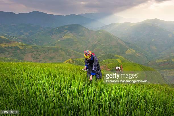 farmer hold a smart phone and keep rice on rice field in vietnam. vietnam landscape - asian farmer stock-fotos und bilder