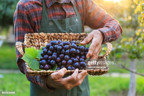 Farmer holding a basket with black grape