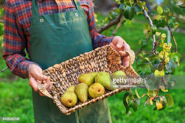 farmer holding a basket with pears - pear stock pictures, royalty-free photos & images