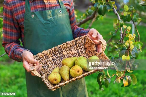 Bauer hält einen Korb mit Birnen