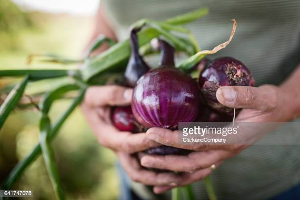 Farmer Holding a Bunch of Freshly Picked Red Onions.