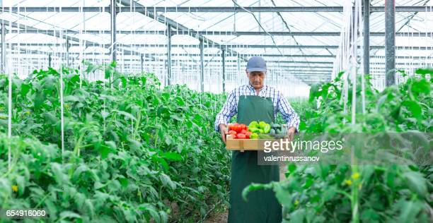Farmer holding a crate with vegetables in hothouse