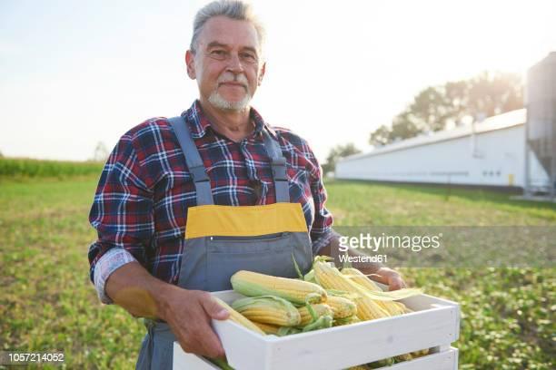 farmer holding a full crate of corn cobs on the field - mais gemüse stock-fotos und bilder