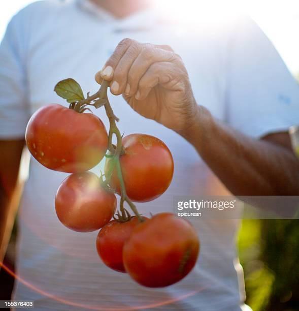 Farmer holding a handful of fresh vine ripened organic tomatoes