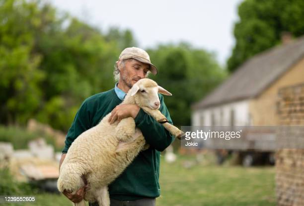 farmer holding a sheep stock photo - shepherd stock pictures, royalty-free photos & images