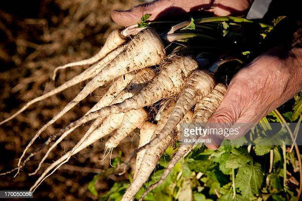 Farmer Holding Crop of Homegrown Parsnips