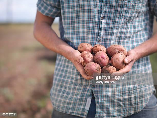 Farmer holding crop of organic potatoes, close up