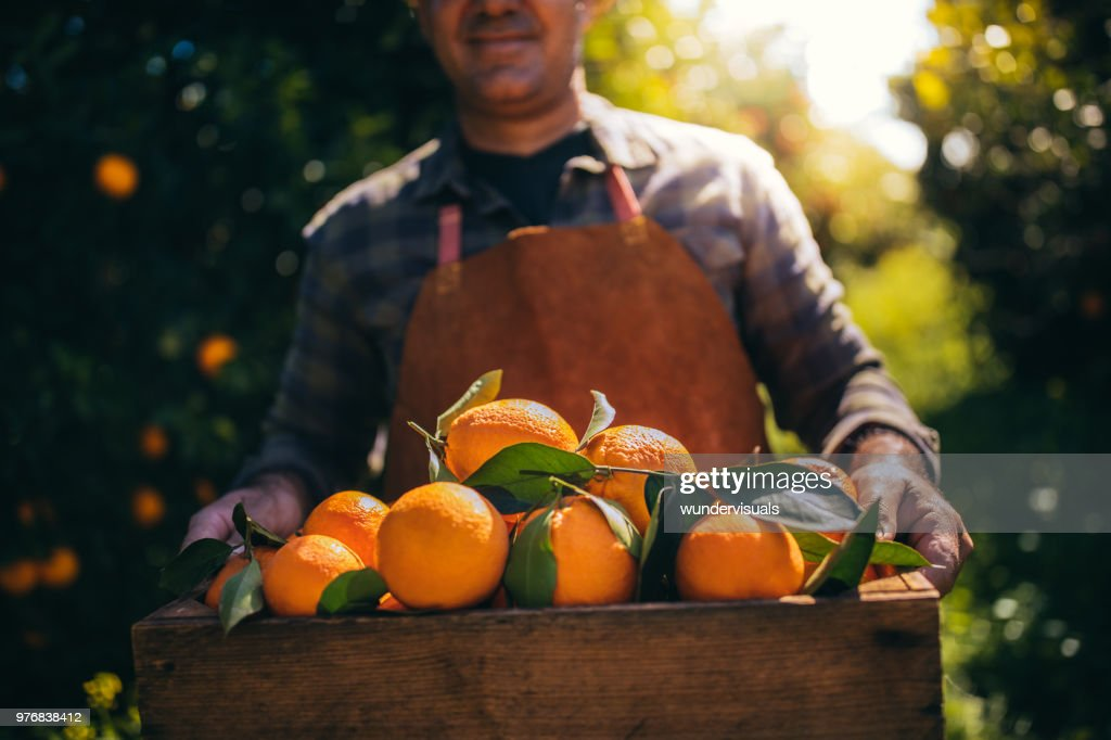 Farmer holding wooden box with fresh oranges in orchard : Stock Photo