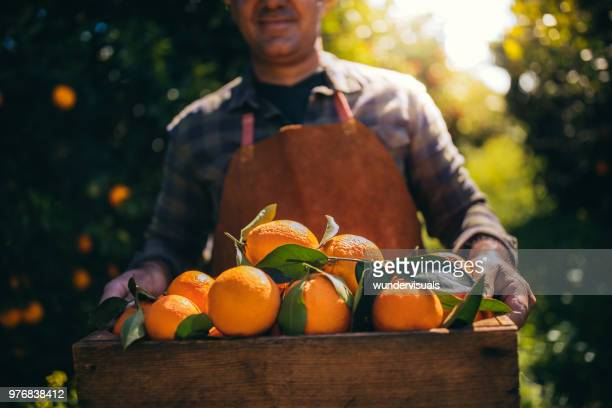 farmer holding wooden box with fresh oranges in orchard - arancione foto e immagini stock