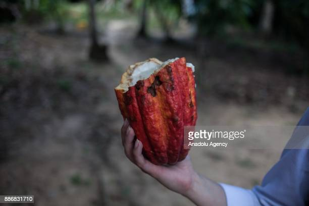 Farmer holds a cocoa fruit in Vichada, Colombia on December 05, 2017. Farmers try to sell cocoa, plantains, fruits, vegetables and rice. People here...