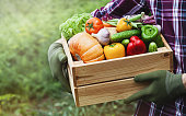 Farmer holds in hands wooden box with vegetables produce in garden. Fresh and organic food.