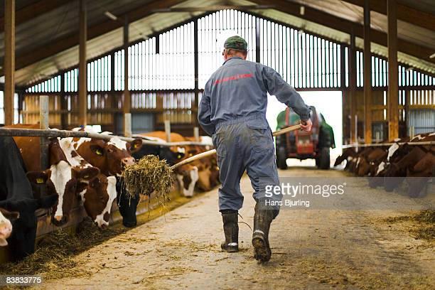 A farmer in a barn Sweden.