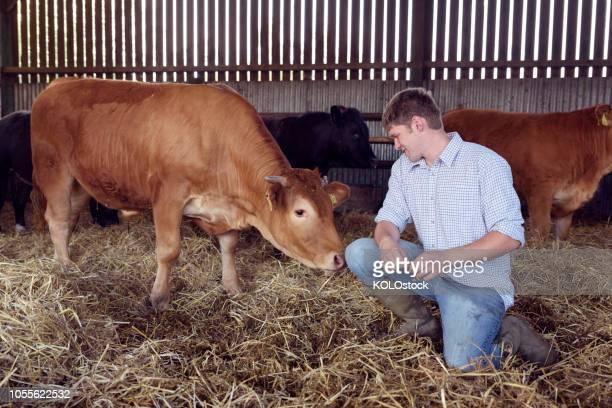 Farmer in a barn with a cow