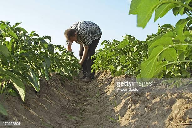 farmer in a field of potatoes yields checks. - rauwe aardappel stockfoto's en -beelden